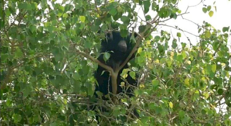 पिंडवाडा के अम्बेश्वर फली की आबादी में आया भालू, वन विभाग की टीम ने किया सुरक्षित रेस्क्यू